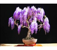 Jacaranda mimosifolia - Bonsai 10 Seeds