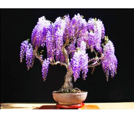Jacaranda mimosifolia - Bonsai 20 Seeds