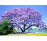 Jacaranda mimosifolia - 10 Seeds