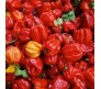 HOT CHILLI PEPPER - JAMAICAN RED - 10 Seeds