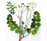 Burnet Saxifrage 0,5 gr. Seeds