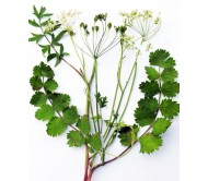 Burnet Saxifrage 0,5 gr. Seeds