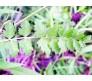 Burnet Saxifrage Seeds