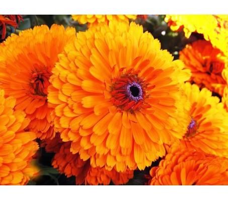 Pot Marigold - Large Mixed Seeds 0,40g