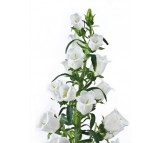 Campanula Bell Flower mixed color Seeds  0,25g