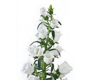 Campanula Bell Flower mixed color Seeds  0,50g