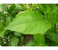 Tobacco Virginia Gold 50+ Seeds