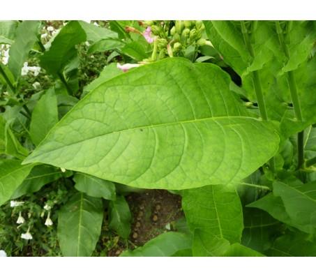 Tobacco Virginia Gold 50+ Seeds