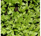 Cress, Garden Cress (Lepidium Sativum) 3,5g Seeds