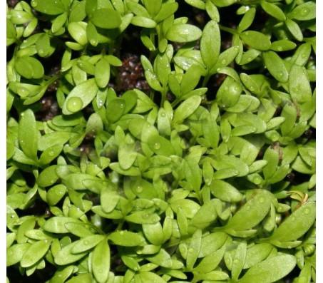 Cress, Garden Cress (Lepidium Sativum) 3,5g Seeds