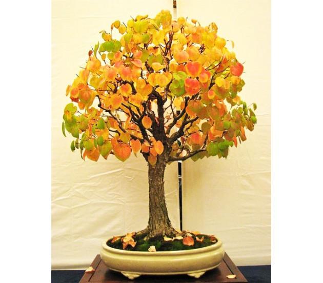 The Katsura Tree 15 Seeds