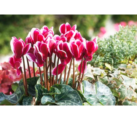 Cyclamen Giant Mixed color seeds 0,005g.