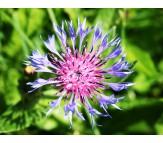 Centaurea cyanus-Cornflower seeds packet 0,8 gram.