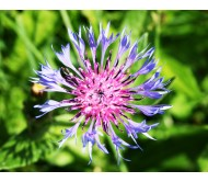 Centaurea cyanus-Cornflower seeds packet 0,8 gram.