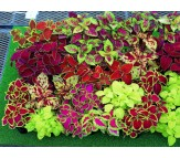 Coleus mix colored Seeds 0,1 gr.
