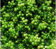 Coriander 5gr seeds