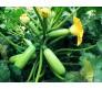 Marrow Squash zucchino (curcubita pepo) seeds 5g