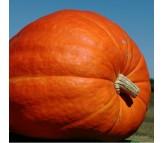 Giant Pumpkin (Cucurbita Maxima) 5 seeds.
