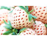 White Strawberry Pineberry two bubs (routings)