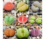 Lithops Mixed varieties 20 Seeds