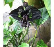 Bat Flower (Tacca Chantrieri) – 10 Seeds
