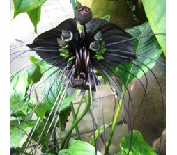 Bat Flower (Tacca Chantrieri) – 10 Seeds
