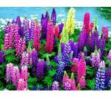Lupin Seeds 0,9g