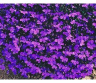 Lobelia seeds packet 0,1 gram.