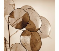 Lunaria (Honesty flower) 20+ Seeds pack
