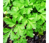 Giant Parsley seeds - 10gr.