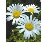 Daisy Giant White 0,10g Seeds