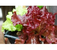 Curly Red Lettuce seeds packet 3,5 gram.