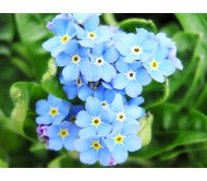 Myosotis / Forget me not seeds packet 0,15 gram.