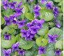 Viola odorata 0,2g seeds