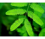 Mimosa Pudica Moving Plant 30 +Seeds!