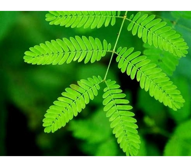 Mimosa Pudica Growing Instructions - Grow from seeds