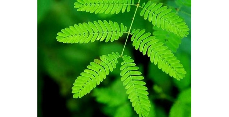 Mimosa Pudica Growing Instructions - Gro...