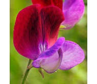 Sweet pea (lathyrus odoratus) Mixed 0,8g Seeds