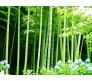 Moso Bamboo (Phyllostachys edulis) 10 Seeds