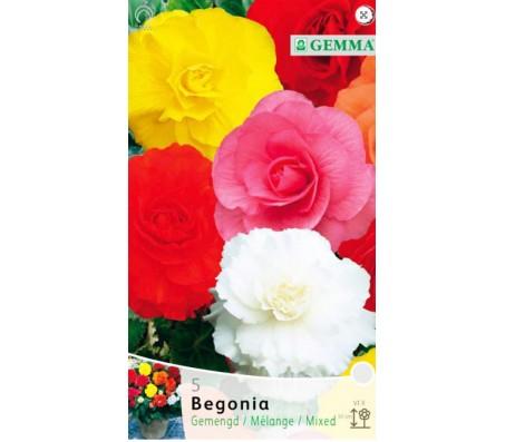 Begonia  Mixed Colors - 3 Bulbs