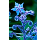 Borage Starflower Seeds 0,80g Seeds
