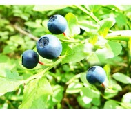 Vaccinium myrtillus 25 Seeds