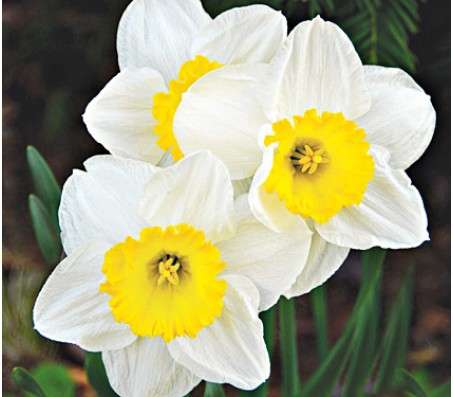 Narcissus Mixed Colors 5 Bulbs