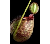 Nepenthes Pitcher plant Mixed Seeds - 10 seeds