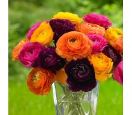Ranunculus Mixed Colors - 5 Bulbs