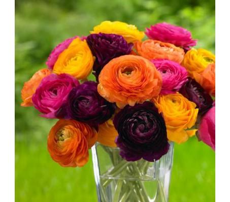 Ranunculus Mixed Colors - 5 Bulbs