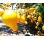"Nipple Fruit - Titty Fruit ""Solanum mammosum"" 10 Seeds"
