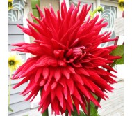 Dahlia Holly Huston Red Giant Flower! 1 Bulb