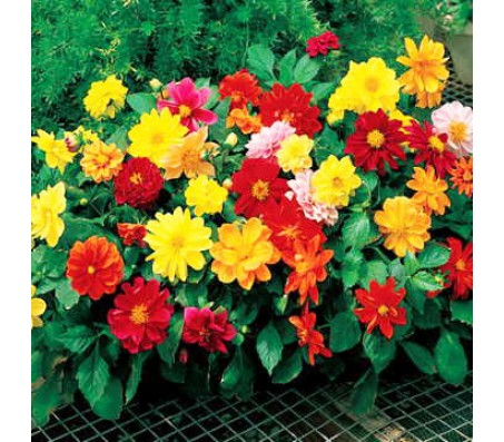 Dahlia double small mixed colors 25gr seeds
