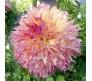 Giant Dahlia Myrtles Folly 1 bulb